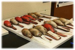 Cardinal specimens