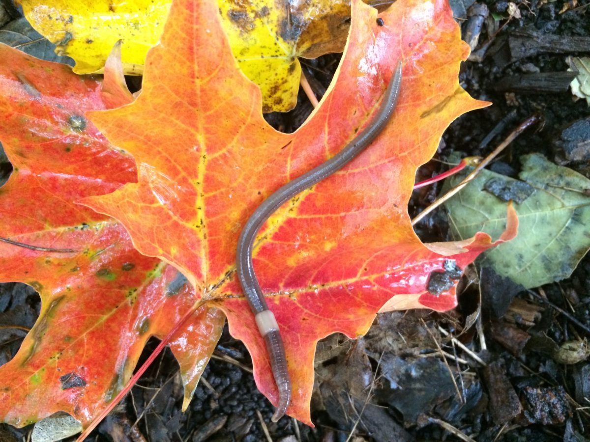 worm on leaf
