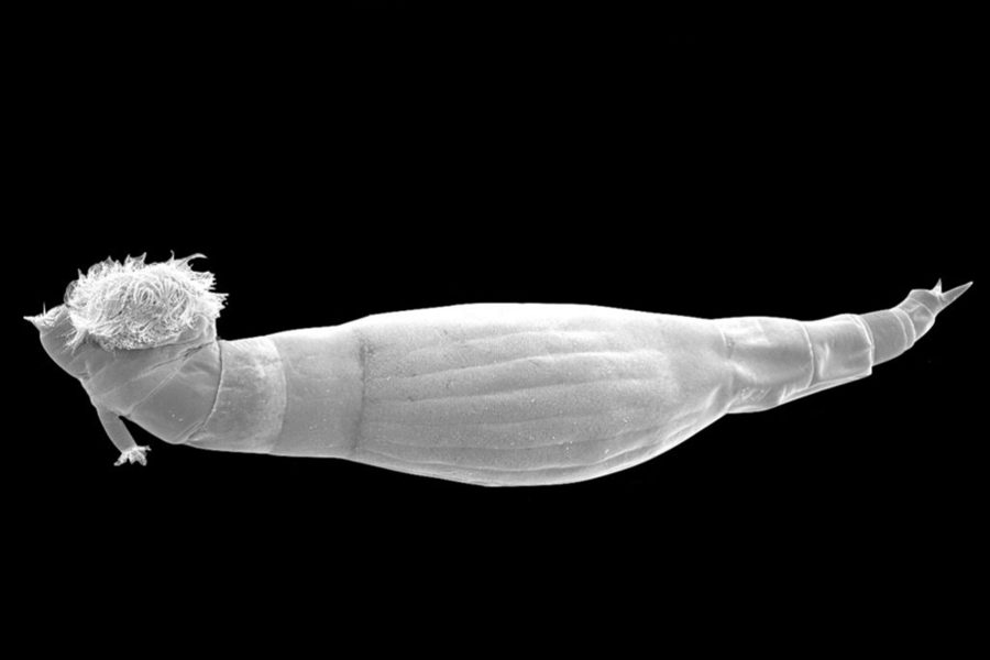 parasidic worm