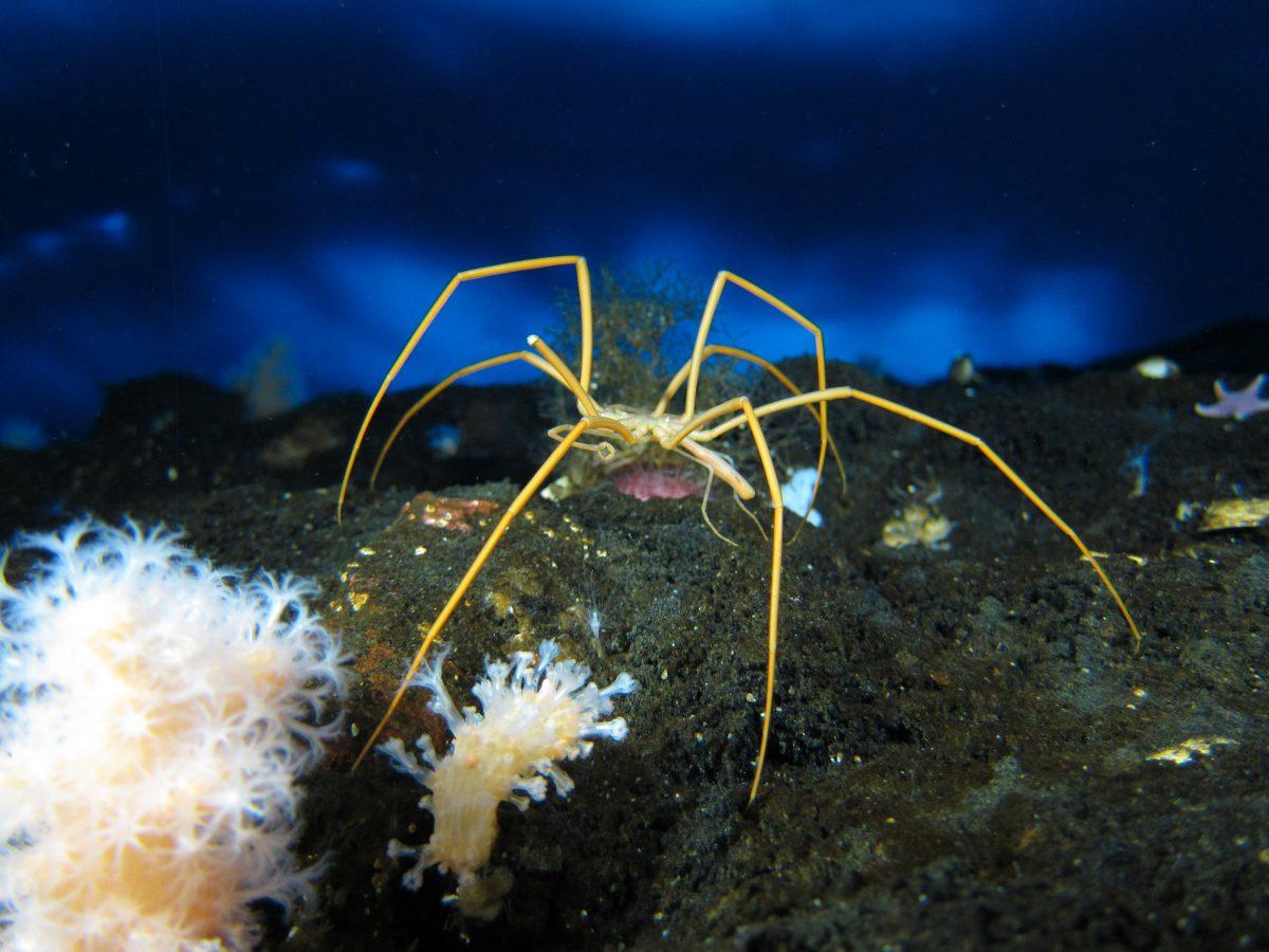 Sea Spiders Image